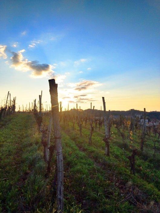 izbrani vinogradi